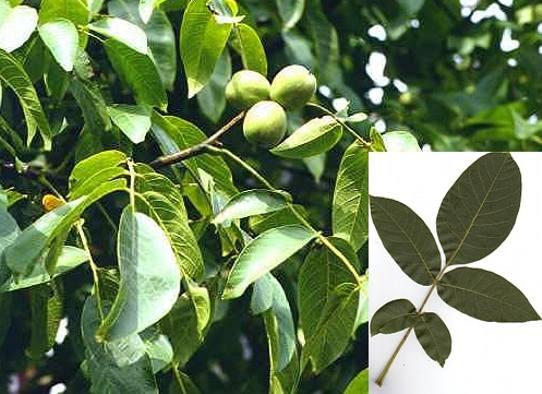 Zebrano baum blatt  Zebrano Baum Blatt | ambiznes.com